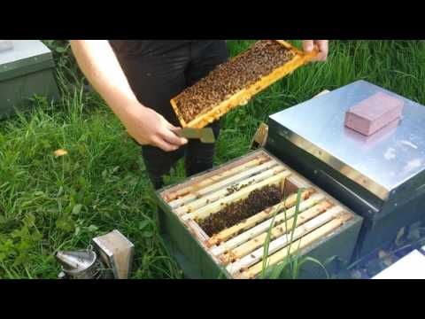 Video showing a full colony of bees