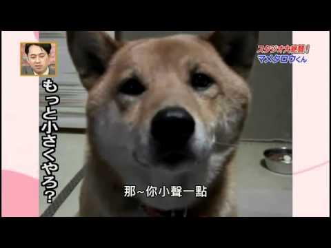 會控制音量的超可愛柴犬,真的會讓笑死!