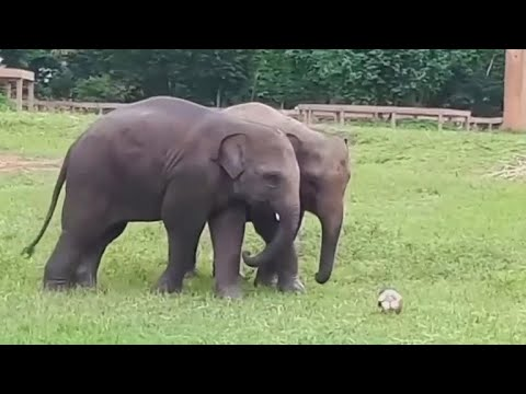 2 elephants in Thailand play soccer together