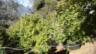 almost harvest time 2018 northern California outdoor grow by Emerald Coast 420