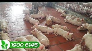 Chăn nuôi lợn | Những cách tối ưu chữa trị dịch tiêu chảy cấp ở lợn