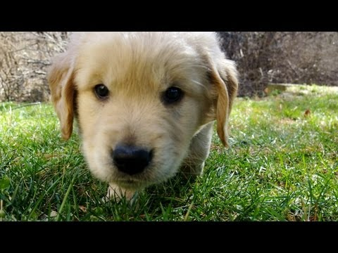 CUTEST Golden Retriever puppy EVER tries first creek leap :-D