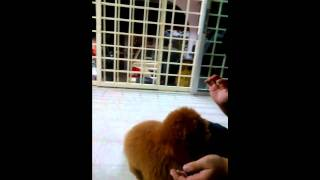 Training Toy Poodle