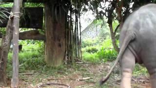Baby Elephant Show At Koh Lanta, Thailand