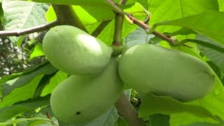 Paw Paw (MI) United States  city photos gallery : Paw Paw (Asimina triloba)- The Largest American Fruit