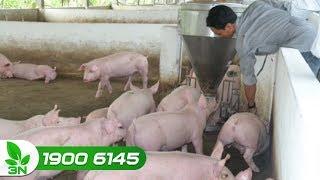 Nông nghiệp | Làm thế nào để lợn xuất chuồng sớm 12 ngày?