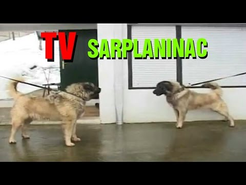 Sarplaninac FCI 4302 - Tv dog show about shepherd dogs
