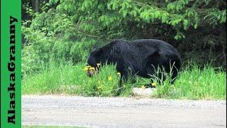 Black Bear eating Dandelions Alaska  Bears Kenai Alaska Binoculars  http://amzn.to/2j9LPYy★☆★ SUBSCRIBE TO ME ON YOUTUBE: ★☆★https://www.youtube.com/c/alaskagranny?sub_confirmation=1 ★☆★ FOLLOW ME BELOW: ★☆★Blog:  http://www.alaskagranny.com/travel-alaska/★☆★ RECOMMENDED RESOURCES: ★☆★Binoculars  http://amzn.to/2j9LPYySunscreen Spray  http://amzn.to/2mjZMTqMosquito Repellent  http://amzn.to/2rnnaG8Travel Umbrella  http://amzn.to/2r1QzWZ
