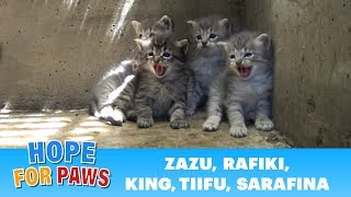 Lion kings and queens born in a storm drain - rescuer leaves screaming! by Hope For Paws