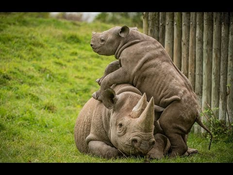 Baby Rhino Pesters His Mom