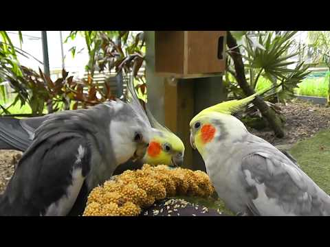 30 Minutes of Aviary. Uninterrupted, Narration Free @ The Pheasantasiam