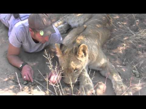 這位男子救了一隻瀕死的獅子,但獅子一見到他竟然就立刻撲上來…這發展太出乎人意料了!