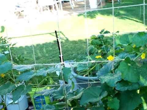 Container Gardening in Chucks' Backyard