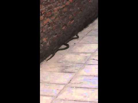(Snake , snake in Nepal, most dangerous video, Top10 horribl - Duration: 0:38.)