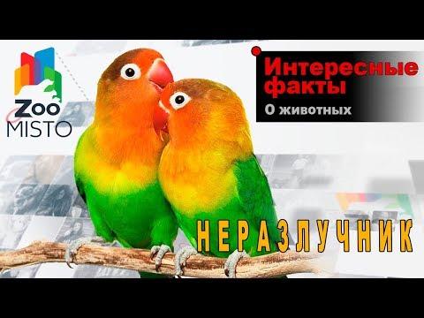 Неразлучники - Интересные факты о виде птиц