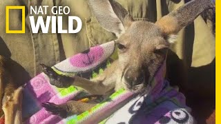 Rescued Baby Kangaroo Chills in a Homemade Pouch | Nat Geo Wild by Nat Geo WILD