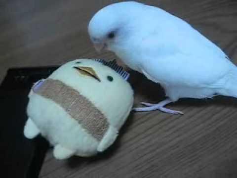 愛媛県今治市ゆるキャラ バリィさん vs 白い鳥