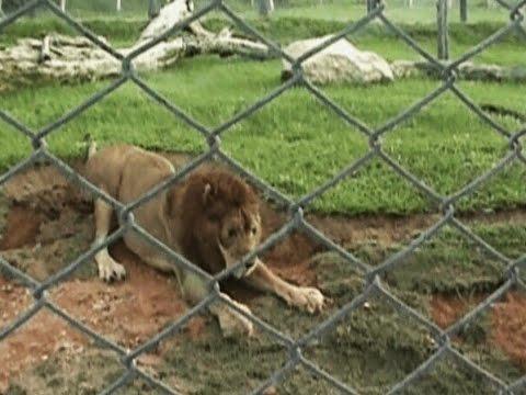 趕快來看看這隻13年來沒有感受過草地的獅子,第一次碰到草地的模樣…
