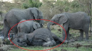 Elephant Calves Give Their Dying Mother A Touching Sendoff That Leaves Everyone In Tears by Did You Know Animals?