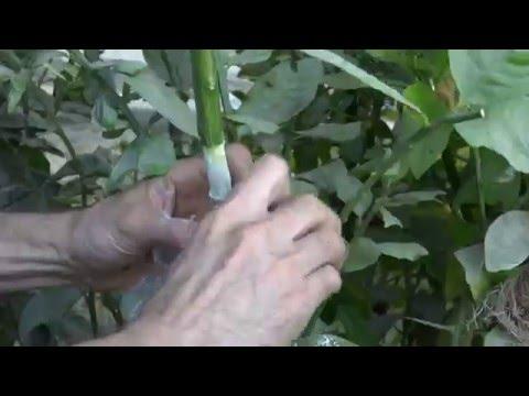 Air layering citrus tree(Part-1)الترقيد الهوائي لشجرة الحمضيات ج1