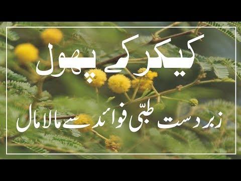 Kikar ke phool k fayde :: keekar acacia tree flowers benefits in Urdu. (видео)
