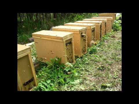 Продаю семьи и рои пчёл, свежий мёд, семена фацелии медоносное растение.