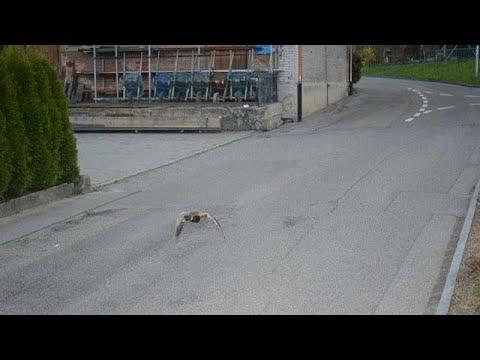 العرب اليوم - شاهد بطة تتخطى السرعة المسموحة في سويسرا