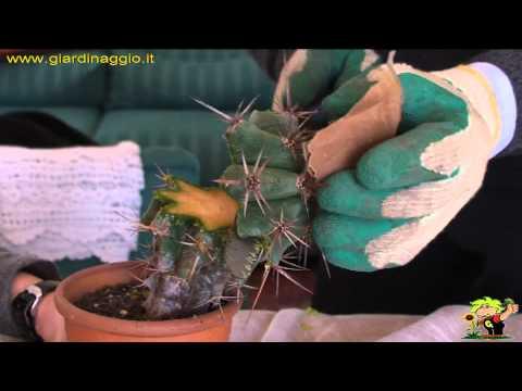 tutorial su come propagare le succulente con l'innesto