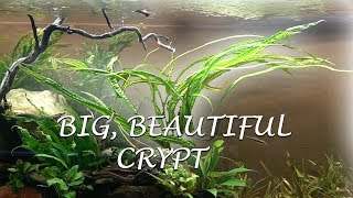 New Fan Favorite- Crypt balansae by Rachel O'Leary