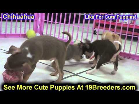 Chihuahua, Puppies, For, Sale, In, Lansing, Michigan, MI, Oakland, Macomb, Kent, Genesee, Washtenaw,