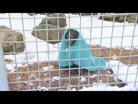 ŠOU: Šimpanza izlazi napolje samo umotana u ćebence