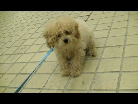 domo - Hey everybody!! Domo got his first walkies! *sort of* I was so excited for this day! Chubbi was SO crazy the first time she got walked. Was crawling like a s...