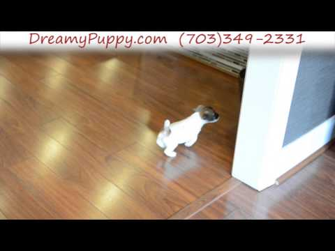 Playful Jack Russell Terrier Female Puppy