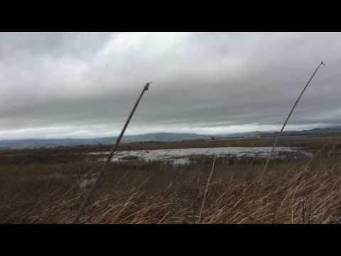 Wild pig in Suisun Marsh
