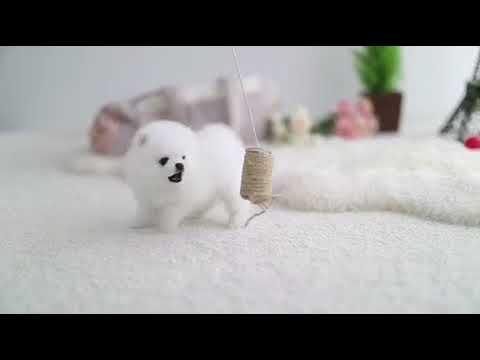 Serena Boutique Teacup Puppies