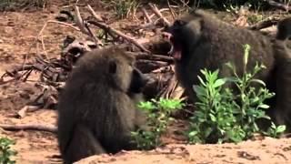 Video Lions Hunting Baboons nature Wild Africa MP3, 3GP, MP4, WEBM, AVI, FLV Oktober 2018