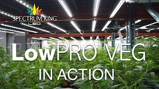 Spectrum King LED LowPro Veg in action by Spectrum KING LED