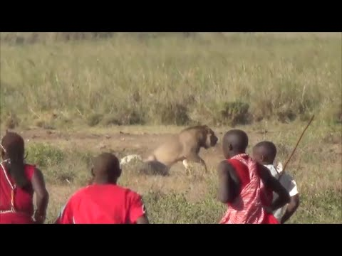 Video Lion vs Maasai, Amboseli National Park, Safari Kenya 2015 download in MP3, 3GP, MP4, WEBM, AVI, FLV January 2017