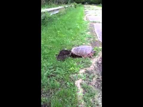 Turtle giving Birth