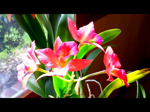 Cattleya Tutorial.  How I Care For My Cattleya In Moss.