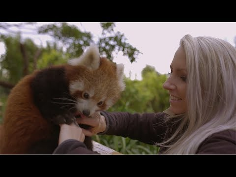 Adorable Red Panda Cub Loves Belly Rubs