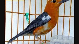 Kumpulan suara burung anis merah juara dan terbaik. Gacor, volume tembus.