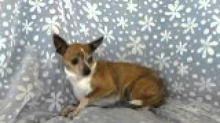 Kam Jefferson - Chihuahua (short coat) Dog For Adoption