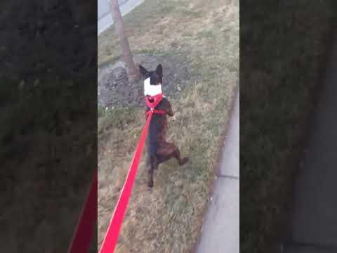 Innokas koira juoksee kahdella jalalla kadulla