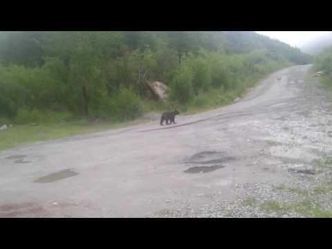 За 5 км от Магадана гуляет медведь годовалый. (видео)