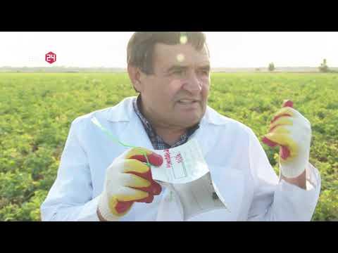 Специалистами Ростовского референтного центра Россельхознадзора осуществлен фитосанитарный контроль картофельных полей фермерского хозяйства Ростовской области