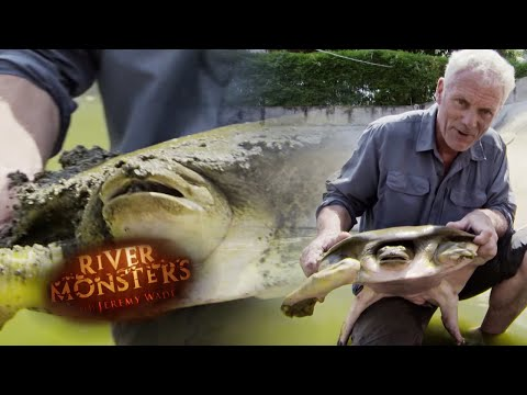 Jeremy Gets To Grips With a Bone Crushing Softshell Turtle | TURTLE | River Monsters