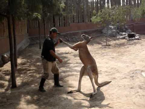 canguro - Macropus rufus.