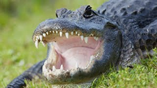 Video Husband Comforts Wife After She's Bitten by Alligator MP3, 3GP, MP4, WEBM, AVI, FLV September 2019