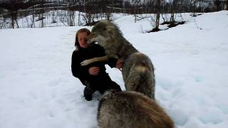 Lady Reunited With Wolf Pack - Beautiful!